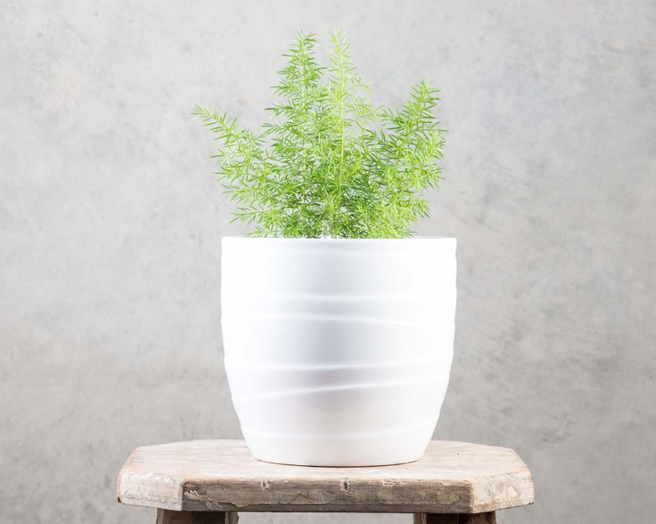 Asparagus Myerii - lovely soft foliage