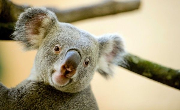What do koala calls sound like?  Male bellows are so fearsome that sound designers used recordings to create the T.rex roars in 'Jurassic Park'. ... SoundCloud recording at this link