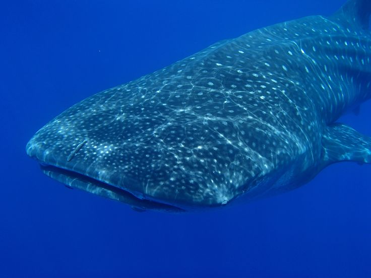 Best spot to dive with whale sharks - St Helena with Natural World Safaris