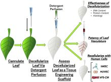 Crossing kingdoms: Using decellularized plants as perfusable tissue engineering scaffolds.