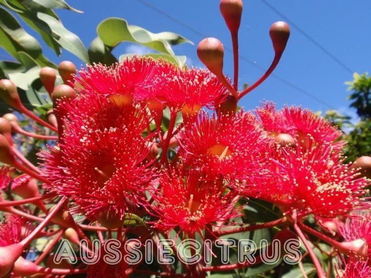 80 Best Australian Native From Seed
