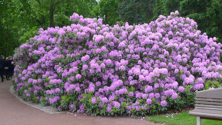 Alppiruusu (Rhododendron) - Hietaniemen hautausmaa, Helsinki 6/2014