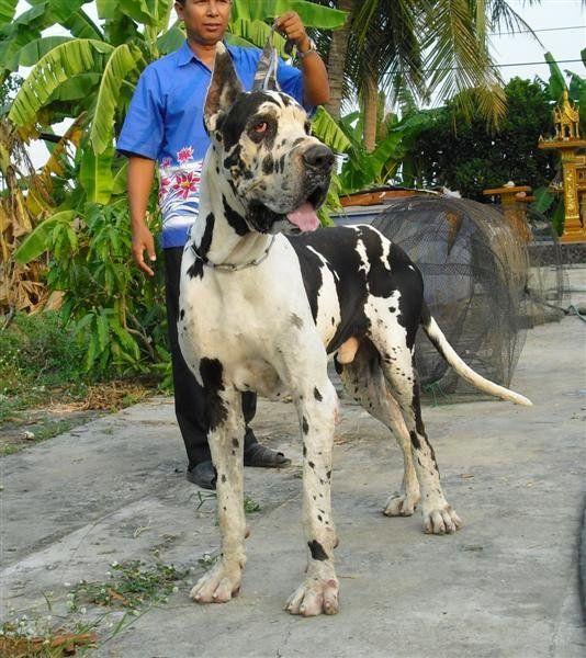 Large Breed Dog Rescue Illinois