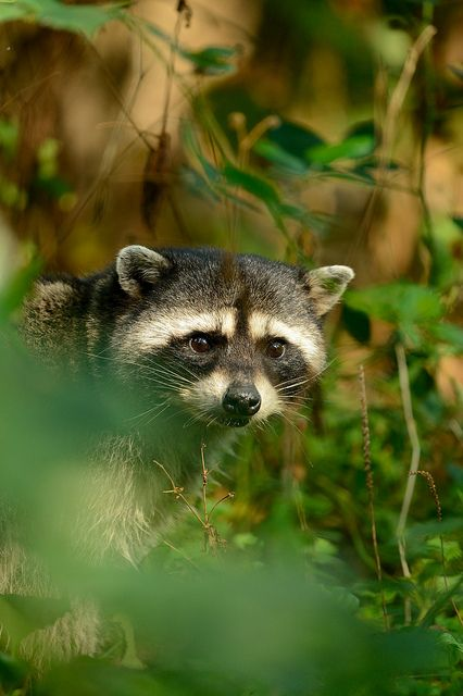 Raccoon by Benjamin Joseph Andrew on Flickr Theme made by Max Davis.