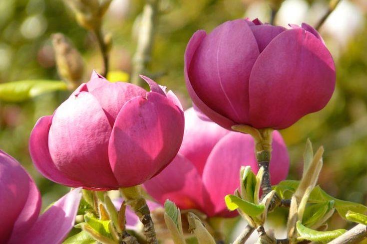 Magnolia 'Black Tulip', Black Tulip Magnolia, Red magnolia, Winter flowers, Spring flowers, Red flowers, fragrant trees, fragrant flowers, Purple Magnolia, Purple flowers