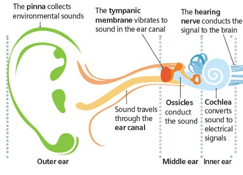 the ear and hearing loss essay Free essay: the ear and hearing loss the ear is the organ of hearing and balance in vertebrates the ear converts sound waves in the air, to nerve impulses.