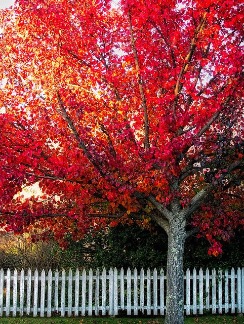 red tree with white fence. This would make for the perfect front yard. I guess I need to get out of AZ.