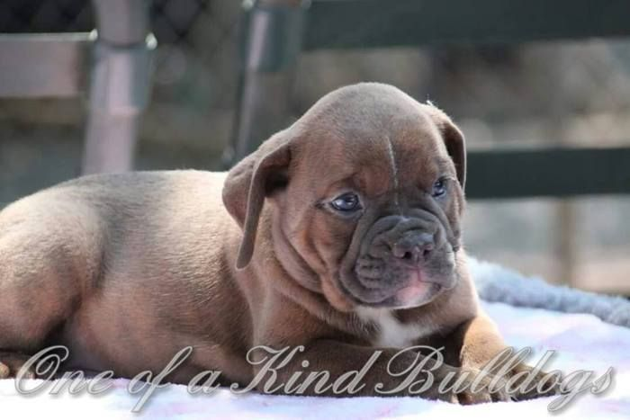 One Of A Kind Bulldogs – We are one of a kind Olde Bulldogge breeders, also known as the Olde English Bulldogge. We offer Old English Bulldog puppies for sale