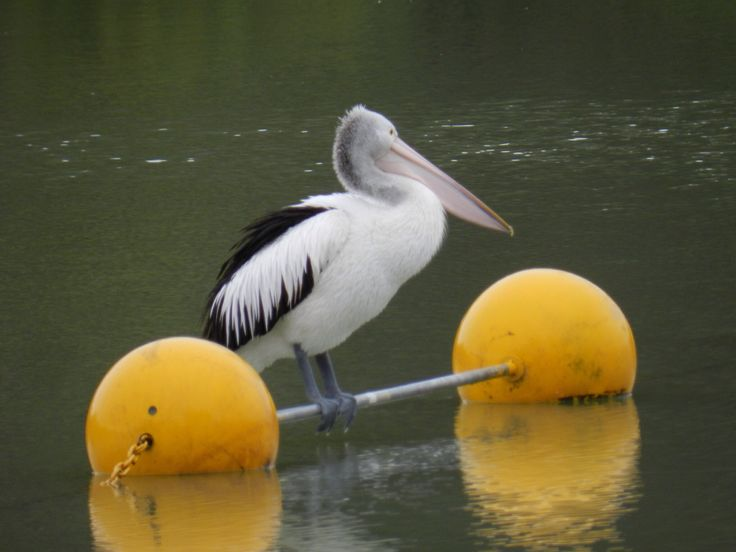 Pelican, Mildura. VIC