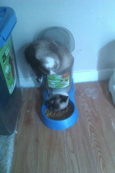 I'm Stuck!!! Cat Faces Dry Food Feeder Dilemma -- funny pets