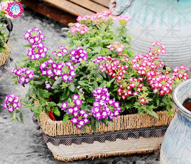50 Sztuk Rzadko Verbena Roslin Verbena Hybrida Bonsai Kwiat Roslina Wieloletnia Aromatyczne Rosliny Kryty Balkon Aromatic Plant Balcony Plants Planting Flowers