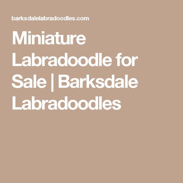 Miniature Labradoodle for Sale   Barksdale Labradoodles