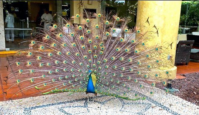 Velas Vallarta's resident peacocks stop guests in their tracks