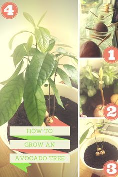 "Easy steps to growing you own avocado tree - I planted 10 in a very large pot and now have a beautiful ""tree"" growing in my living room."