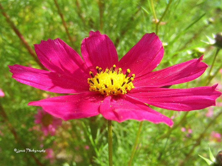 COLORFUL COSMOS FLOWER 🌸💖🌸