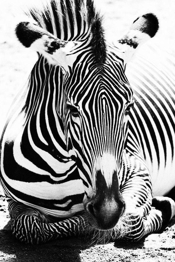 Striped Zebra