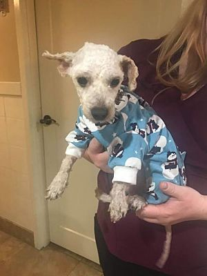 New York Ny Toy Poodle Meet Hoss A Pet For Adoption