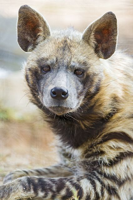 Portrait of a striped hyena