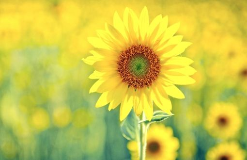 Sunflower wallpapers