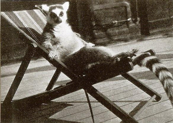 One cool lemur