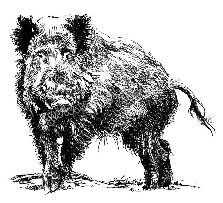 divočák kresba  hledat googlem  wild boar drawing