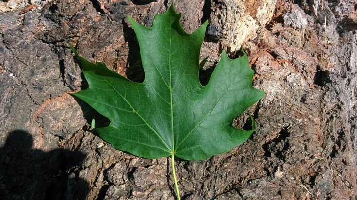 awesome Tree expert taps into the truth behind use of iconic maple leaf - British Columbia - Canada News