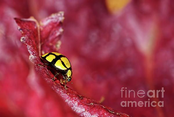 #LADYBIRD #EATING by #Kaye #Menner #Photography Quality Prints Cards Products at: http://kaye-menner.pixels.com/featured/ladybird-eating-by-kaye-menner-kaye-menner.html