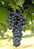 Picture of syrah vine