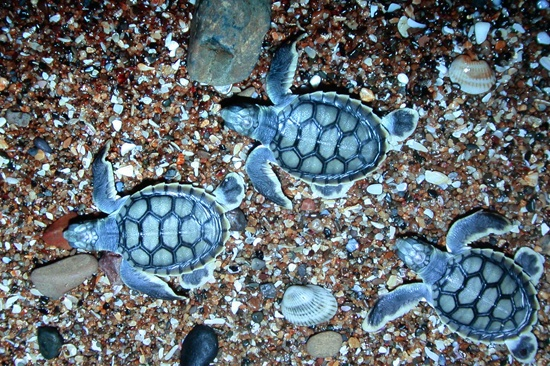 watched the turtles hatch and head for the sea. Mon Repos Australia  Check off the bucket list