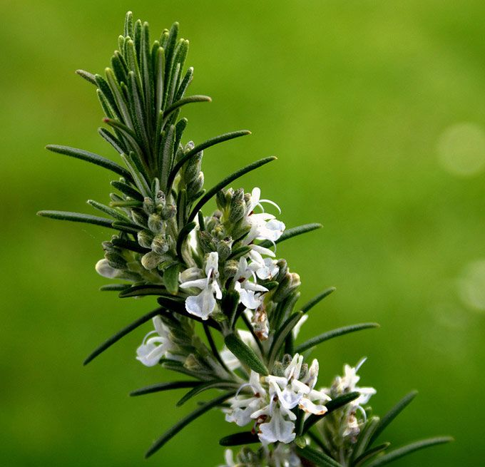 Rosmarinkvist med blomst
