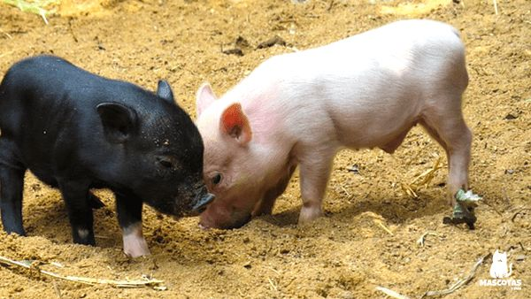 Cerdo vietnamita bebe