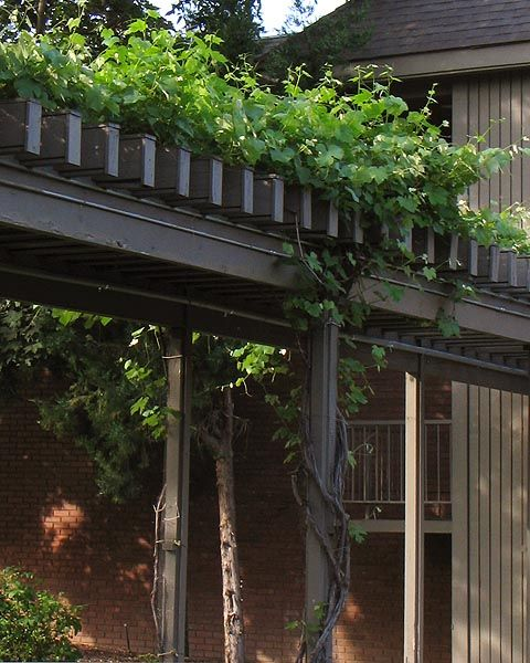 Boston Ivy Amp Trellis Design The Great Outdoors