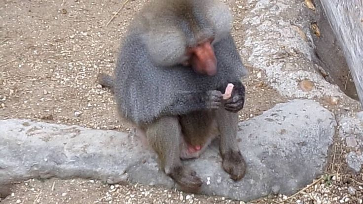 Some food-based enrichment for Baboons