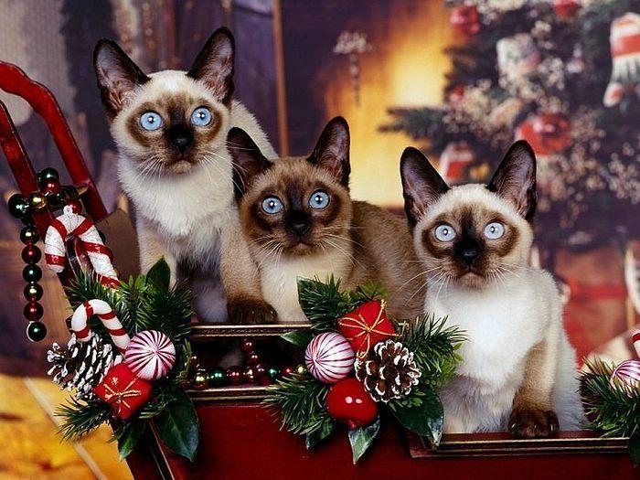 49 best christmas kitties images on pinterest christmas animals blue eyed christmas cats funholidaycats spiritdancerdesigns Choice Image