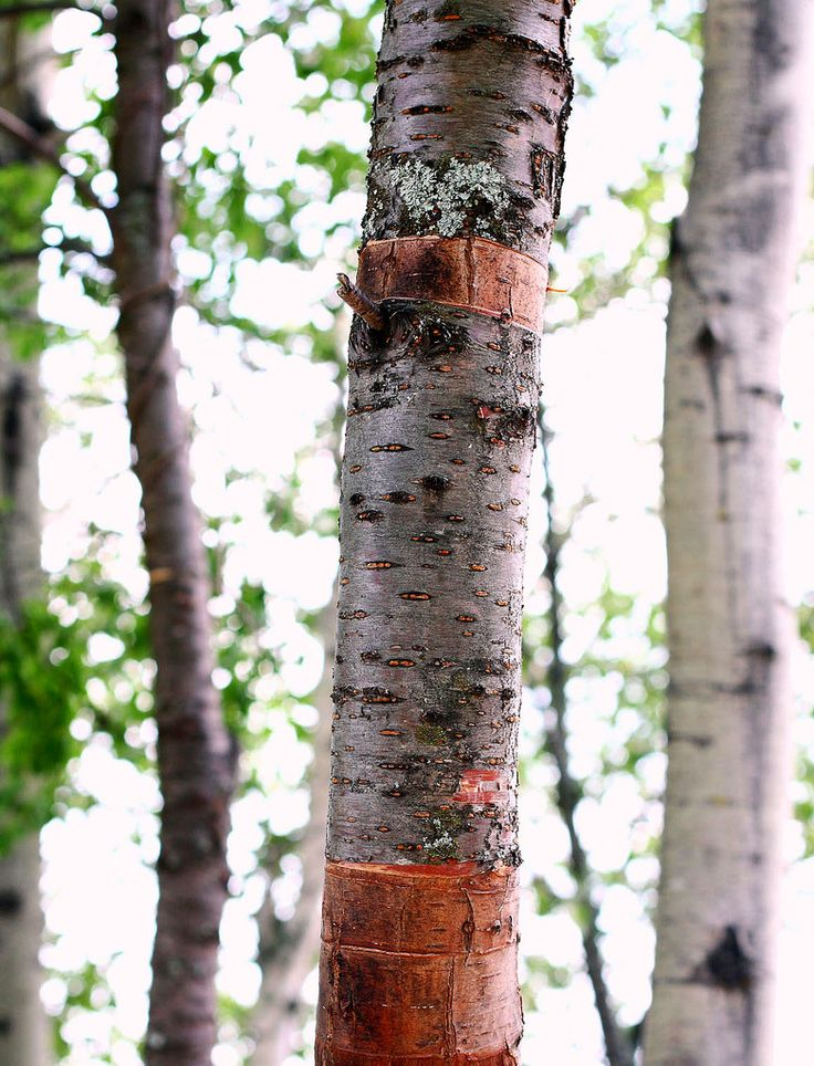 how to grow birch trees from cuttings