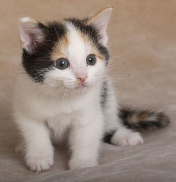 Calico And Tabby Mixed Cat For Adoption In Chicago Illinois Eyebrow And Smokey Petcurious In 2020 Cat Adoption Cats Cat Rescue