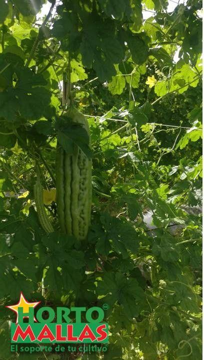el fruto de momordica charantia o cundeamor crece rigurosamente sano en una espaldera entutorada por HORTOMALLAS.