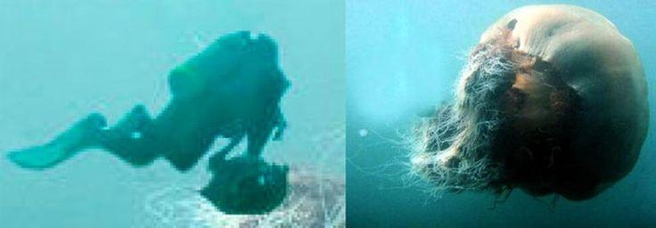 Lions mane jellyfish