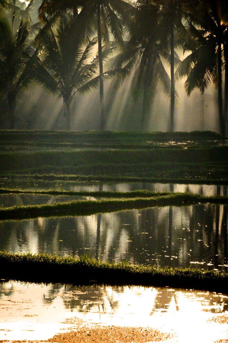 Misty Paddy Fields - Indonesia