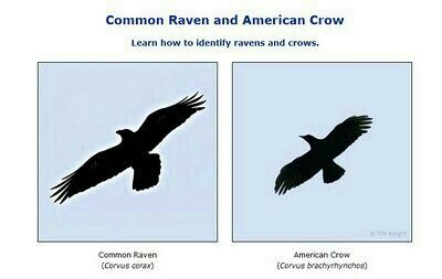 Raven vs crow vs grackle - photo#14
