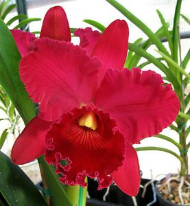 48 Best Images About Cattleya Orchids On Pinterest