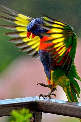 Awesome Rainbow Lorikeet.... Colours