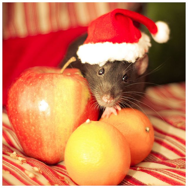 27 best Rats In Hats! images on Pinterest | Rats, Mice and Hamsters