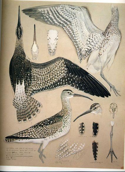 #bird #scientific #illustration charles tunnicliffe (1901 - 1971) repinned by AMG DESIGN www.amgdesign.nz