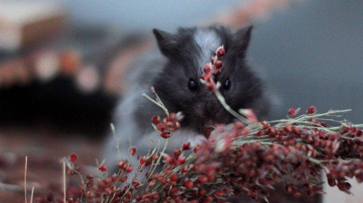 hamster and red. --.--. #hamster #flauschi #syrianhamster #teddybearhamster #teddyhamster #animals #love #cute #cuteanimals #weeklyfluff #livenatural #livethelittlethings #shy #natureman #hamstersmatter #happy #happyhamsterfoundation #heiswonderful #weekendover #monday #adoreable #imback #nature #sorghumkolben #natureandanimals