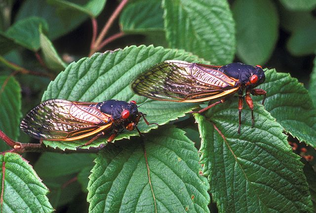 """Pharaoh Cicada (17 Year Locust) - Magicicada septendecim - Native to Canada and the United States, this member of the family Cicadidae is not actually a locust. It is one of three species often described together as """"decim periodical cicadas."""" The other two are 13-year species : Magicicada neotredecim and Magicicada tredecim - Agricultural Research Service"""