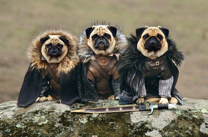 Os três pugs – Roxy, Blue e Bono – representam de maneira muito divertida personagens como Daenerys Targaryen, Jon Snow, Ned Stark, Rei Joffrey, Tyrion Lannister e muitos outros.