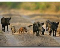 Save Michigan's feral pigs!