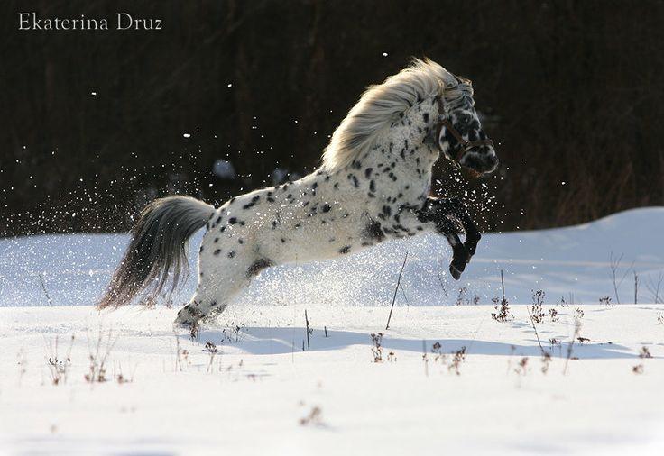 Фалабелла - фотографии - Equestrian.Ru, конное обозрение / Лошади и конный спорт