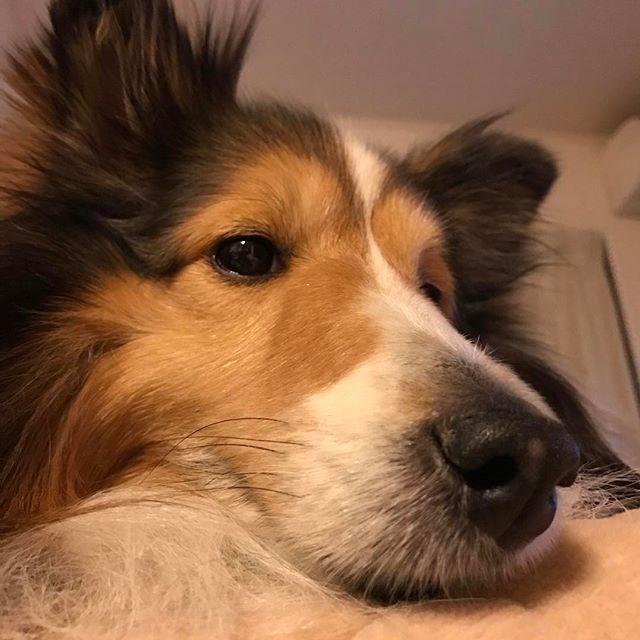 ソファを独り占めしてます👍  #ソファの肘掛けが丁度いい #ねむいなー  #シェットランドシープドッグ #シェルティ大好き #シェルティ#いぬバカ部 #ふわもこ部 #愛犬 #いぬとの暮らし  #sheltie #shetlandsheepdog #dogstagram #dog #instadog  #犬 #いぬ